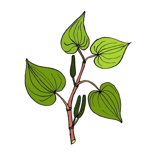 kava root rich in gaba